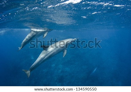 Dilphins swimming in clear blue ocean
