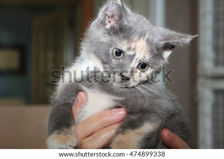 DILUTE CALICO KITTEN