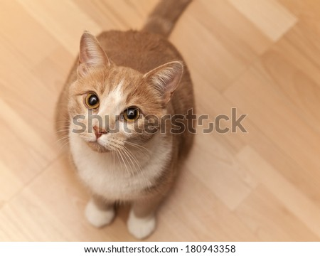 Dilute Tabby Cat - stock photo