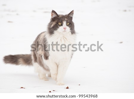 Diluted calico cat in snow, alertly looking into distance - stock photo