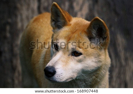 Dingo (Canis lupus dingo), Closeup - stock photo