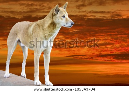 dingo in the bright sunset in the evening - stock photo