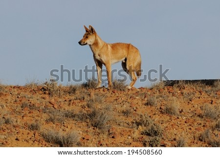 Dingo in the wild - stock photo