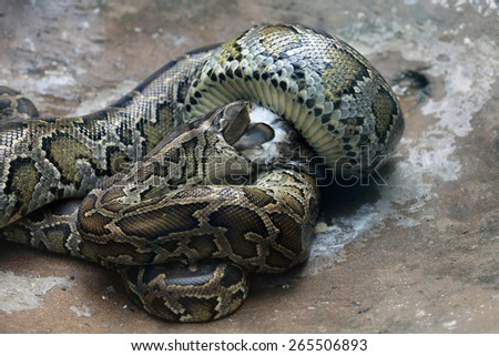 Dinner of a python in a zoo
