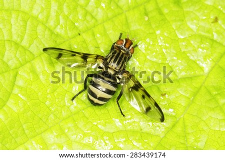 Diptera sp. in natural habitat - close up - stock photo