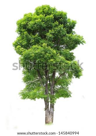Dipterocarpus alatus Roxb tree  isolated - stock photo