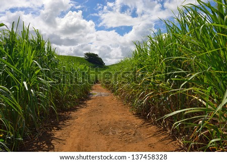 Dirt road among sugarcane plantation. Mauritius 	  - stock photo