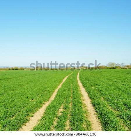 Dirt Track through Lush Green Crops Growing on Farmland under a Beautiful Blue Sky  - stock photo