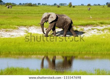 Dirty african elephant in wild grass savanna(National park Chobe, Botswana,South Africa) - stock photo
