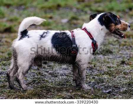 Dirty black dog on a winter walk. Jack Russell Terrier pet walking in bad weather - stock photo