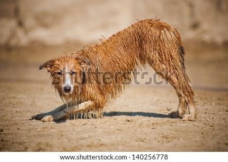 dirty border collie dog on the beach - stock photo