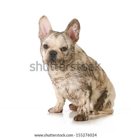 dirty dog - french bulldog covered in mud sitting looking at viewer isolated on white background - stock photo