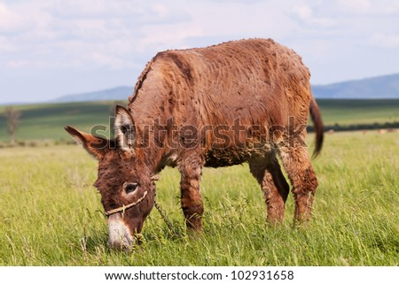 dirty Donkey in a grass Field grazing - stock photo