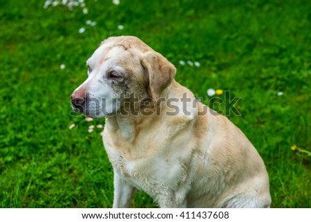 Dirty labrador retriever wait to be cleaned - stock photo