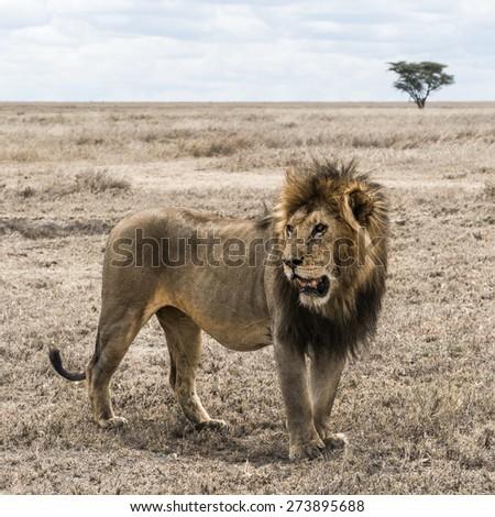 Dirty lion standing in the savannah, Serengeti, Tanzania, Africa - stock photo