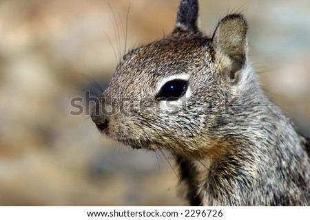 dirty mouth ground squirrel