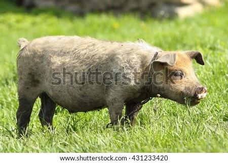dirty pig grazing on green lawn near the bio farm - stock photo