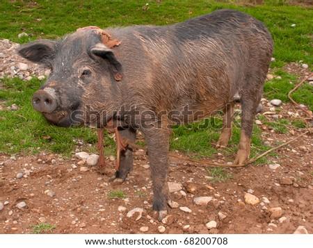 dirty pig,  need a bath - stock photo