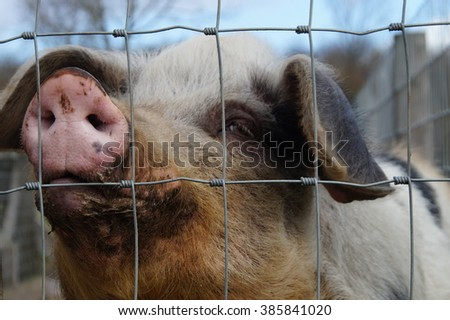 Dirty Woolly Pig Behind Fence