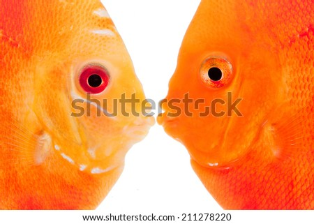 Discus Angel Fish in Aquarium Tank - stock photo