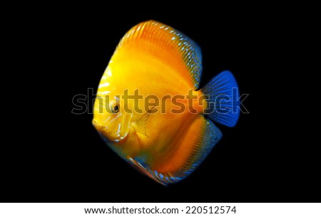 Discus Fish isolated on Black - stock photo