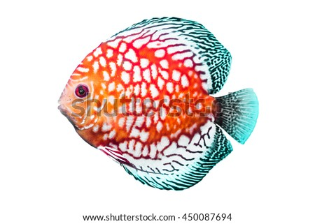 Discus Fish or Pompadour Fish or Symphysodon Fish on white background - stock photo