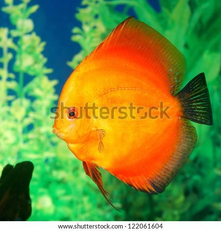 Discus fish Symphysodon spp. in aquarium - stock photo