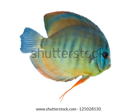 Discus ,  freshwater fish from Amazon River isolated on white - stock photo