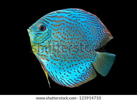 Discus ,  freshwater fish native to the Amazon River isolated on black - stock photo