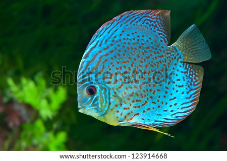 Discus (Symphysodon spp.),  freshwater fish native to the Amazon River, in aquarium - stock photo