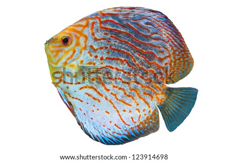 Discus (Symphysodon spp.),  freshwater fish native to the Amazon River isolated on white
