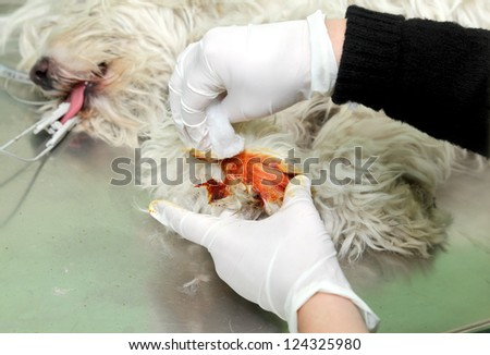 Disinfection of dog leg  before veterinarian surgery