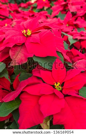 Display of red poinsettia plants