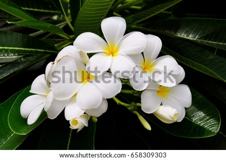 Display of white frangipani flowers in full bloom