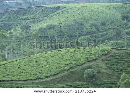 Distant View Of A Tea Plantation - stock photo
