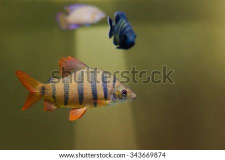Distichodus lusosso. Longsnout distichodus. Freshwater tropical creature, striped yellow fish with orange fins. Freshwater aquarium fishes background. toned textured vintage paper, soft focus - stock photo