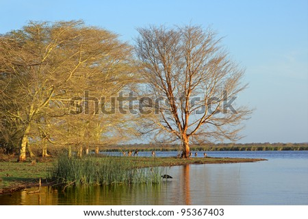 Distinctive fever trees (Acacia xanthoploea) growing on the edge of a lake Mkuze game reserve, South Africa