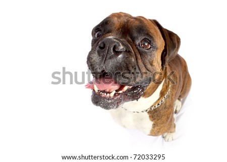 Distorted face of brown Boxer with white chest