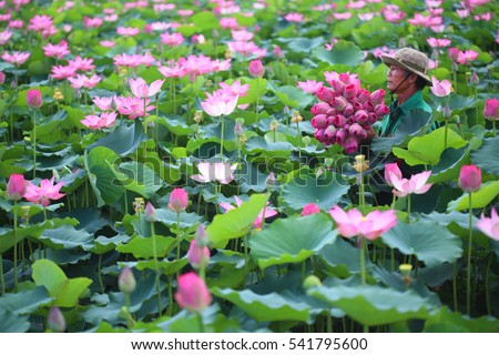 District 9, Ho Chi Minh city, Vietnam - August 28, 2016: Man is picking lotus flowers from lotus lake in the morning