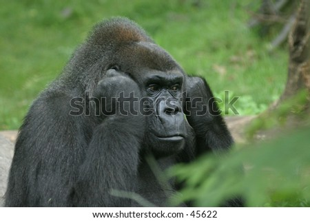 Disturbed gorilla shutting off the noise