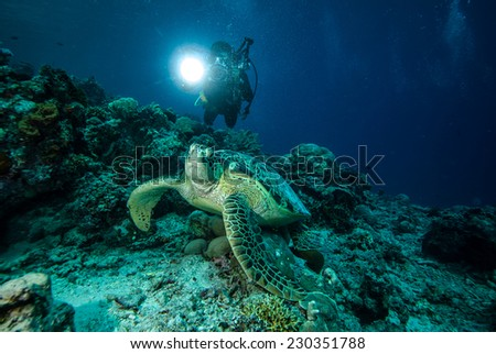 Diver and green sea turtle in Derawan, Kalimantan, Indonesia underwater photo. Chelonia mydas resting on the reefs and diver heading to sea turtle to take pictures. - stock photo