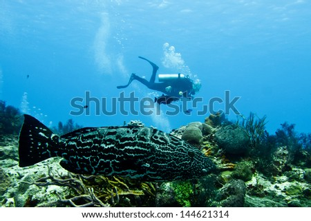 Diver and grouper from the coral reefs of the mesoamerican barrier. Cozumel, Mayan Riviera, Mexican Caribbean. - stock photo