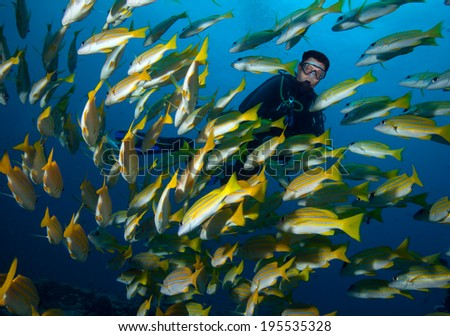 Diver and school of blue striped snappers over a reef  - stock photo