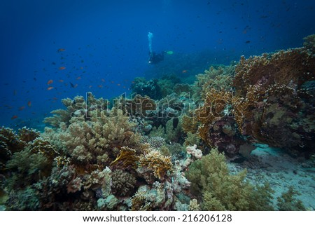 Diver explores reefs in the Red Sea, Egypt - stock photo