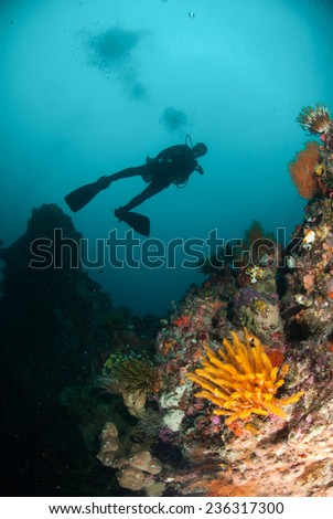 Diver, feather star, coral reef in Ambon, Maluku, Indonesia underwater photo. Feather star Oxycomanthus benntti has an orange color.