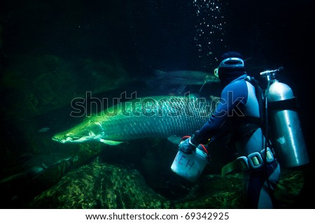 Diver feeding Aparaima in aquarium - stock photo