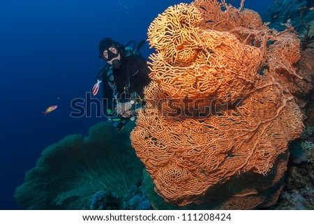 Diver next to a large orange seafan in deep water - stock photo