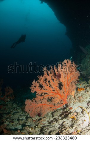Diver, sea fan in Ambon, Maluku, Indonesia underwater photo. Diver swimming above, and sea fan Annella mollis in the bottom of the sea. - stock photo
