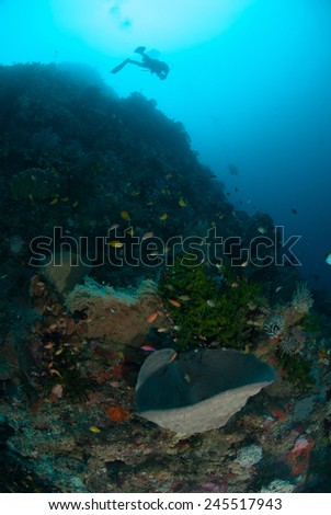 Diver, sponges, black sun coral in Ambon, Maluku, Indonesia underwater photo. The diver is swimming around.