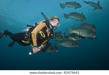 Diver swimming with a school of Bumphead Parrotfish at the Liberty Wreck in Tulamben, Bali - stock photo